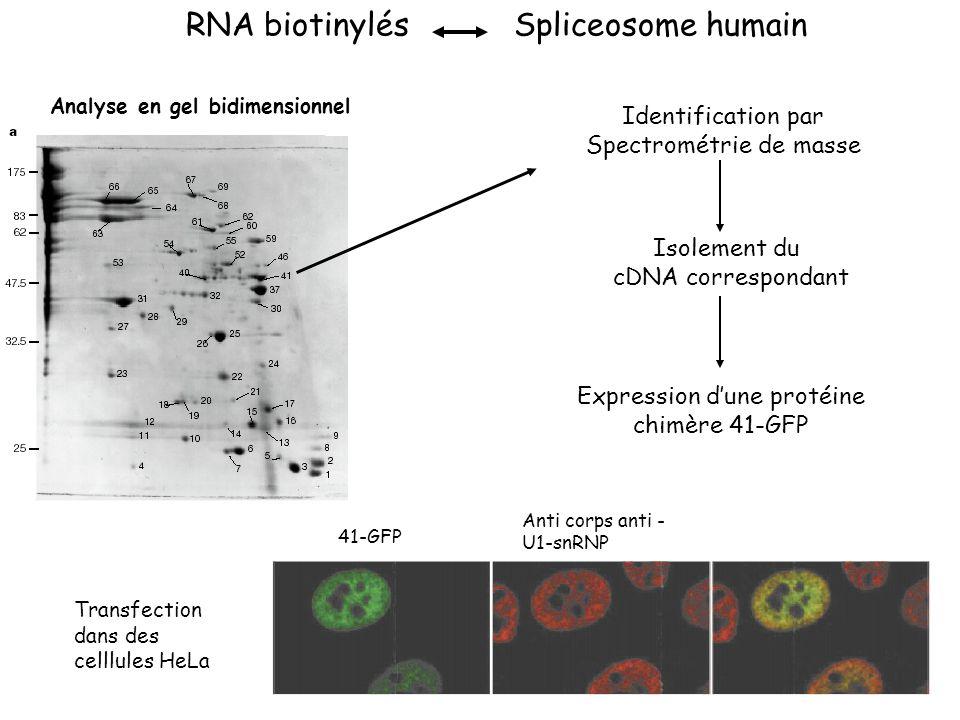 RNA biotinylésSpliceosome humain Analyse en gel bidimensionnel Identification par Spectrométrie de masse Isolement du cDNA correspondant Expression d'une protéine chimère 41-GFP 41-GFP Anti corps anti - U1-snRNP Transfection dans des celllules HeLa