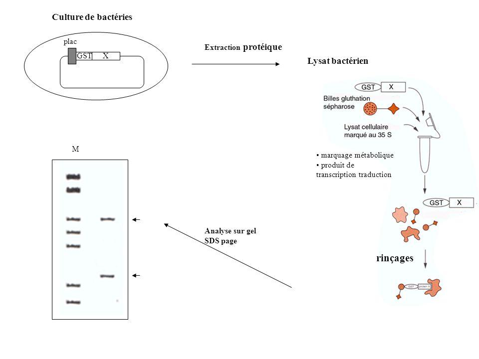 GSTX plac Culture de bactéries Extraction protéique Lysat bactérien Analyse sur gel SDS page M marquage métabolique produit de transcription traduction rinçages