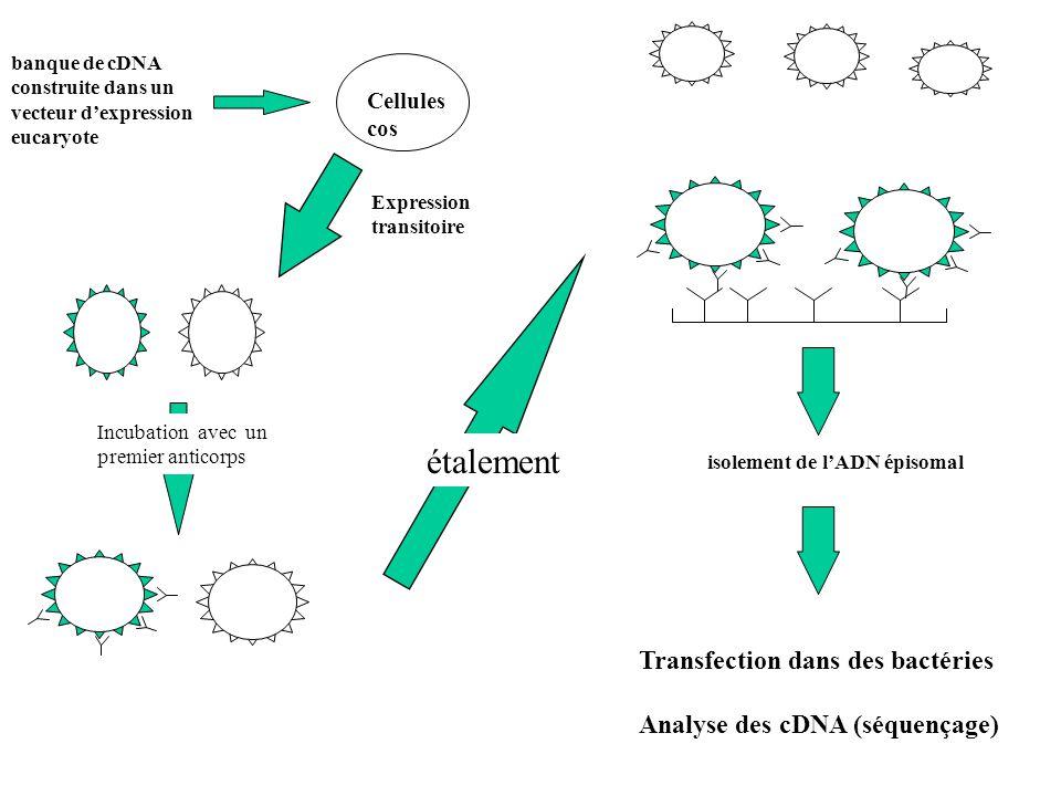 banque de cDNA construite dans un vecteur d'expression eucaryote Cellules cos Expression transitoire Incubation avec un premier anticorps isolement de l'ADN épisomal Transfection dans des bactéries Analyse des cDNA (séquençage) étalement