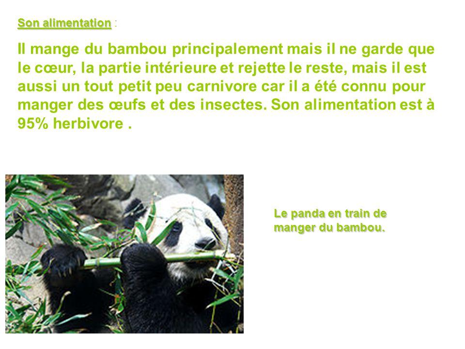 Son alimentation Son alimentation : Il mange du bambou principalement mais il ne garde que le cœur, la partie intérieure et rejette le reste, mais il est aussi un tout petit peu carnivore car il a été connu pour manger des œufs et des insectes.