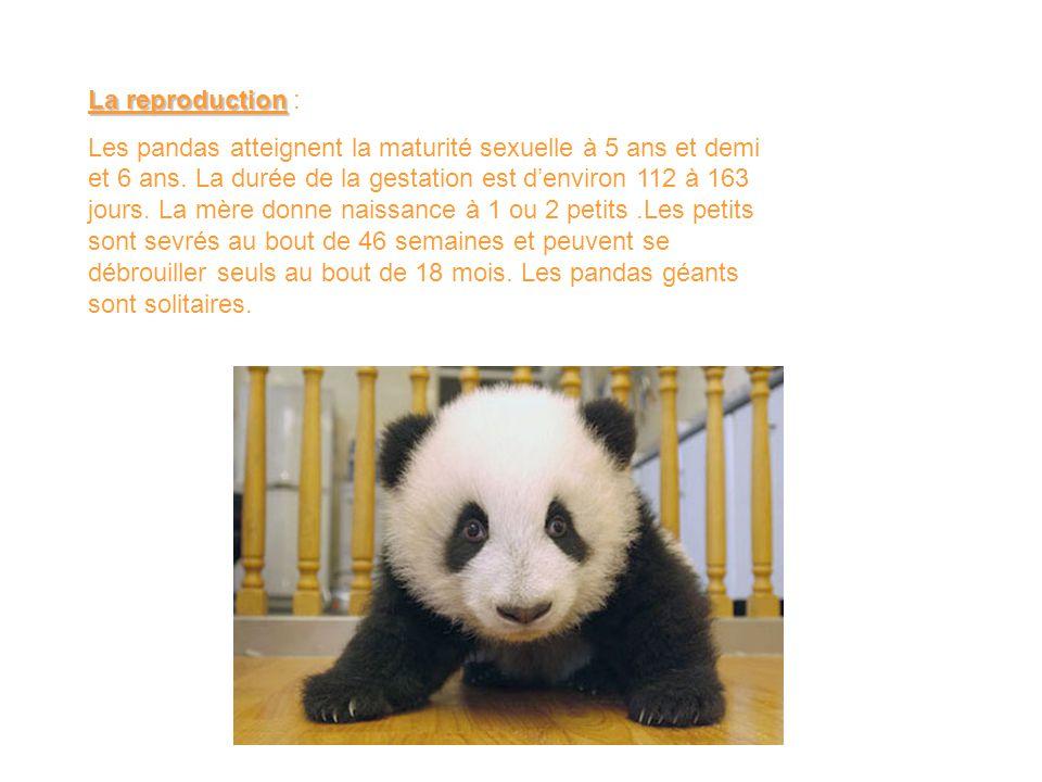 La reproduction La reproduction : Les pandas atteignent la maturité sexuelle à 5 ans et demi et 6 ans. La durée de la gestation est d'environ 112 à 16