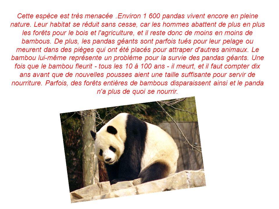 Cette espèce est très menacée.Environ 1 600 pandas vivent encore en pleine nature. Leur habitat se réduit sans cesse, car les hommes abattent de plus