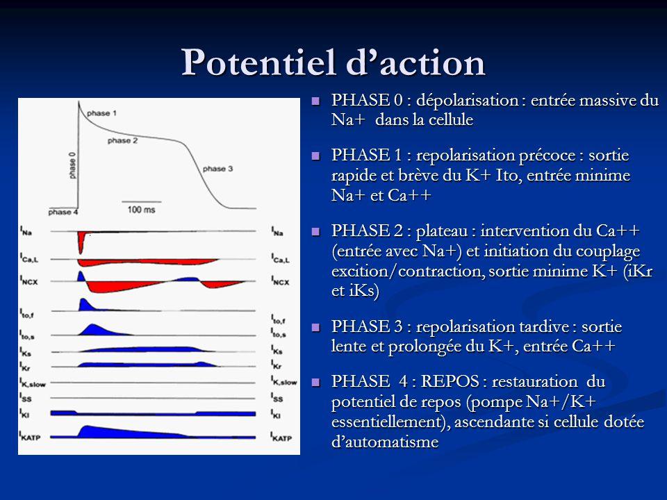 Potentiel d'action PHASE 0 : dépolarisation : entrée massive du Na+ dans la cellule PHASE 0 : dépolarisation : entrée massive du Na+ dans la cellule PHASE 1 : repolarisation précoce : sortie rapide et brève du K+ Ito, entrée minime Na+ et Ca++ PHASE 1 : repolarisation précoce : sortie rapide et brève du K+ Ito, entrée minime Na+ et Ca++ PHASE 2 : plateau : intervention du Ca++ (entrée avec Na+) et initiation du couplage excition/contraction, sortie minime K+ (iKr et iKs) PHASE 2 : plateau : intervention du Ca++ (entrée avec Na+) et initiation du couplage excition/contraction, sortie minime K+ (iKr et iKs) PHASE 3 : repolarisation tardive : sortie lente et prolongée du K+, entrée Ca++ PHASE 3 : repolarisation tardive : sortie lente et prolongée du K+, entrée Ca++ PHASE 4 : REPOS : restauration du potentiel de repos (pompe Na+/K+ essentiellement), ascendante si cellule dotée d'automatisme PHASE 4 : REPOS : restauration du potentiel de repos (pompe Na+/K+ essentiellement), ascendante si cellule dotée d'automatisme