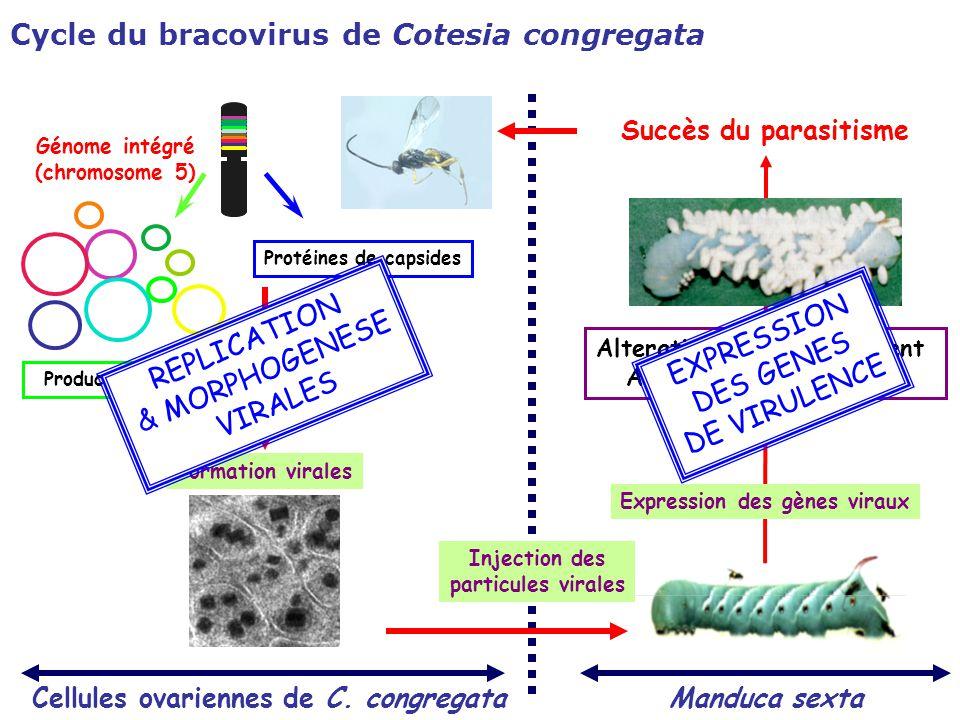 Cellules ovariennes de C. congregata Production des cercles viraux Manduca sexta Injection des particules virales Succès du parasitisme Expression des