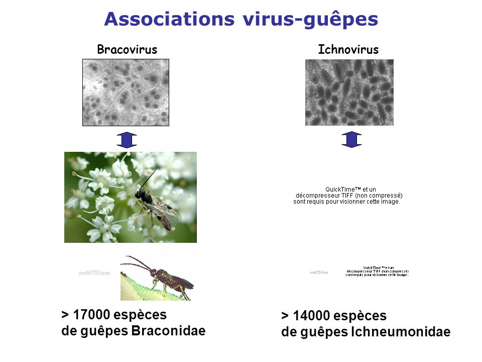 Associations virus-guêpes BracovirusIchnovirus > 17000 espèces de guêpes Braconidae > 14000 espèces de guêpes Ichneumonidae