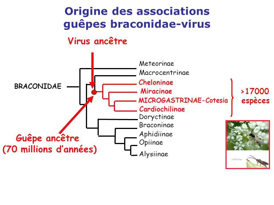 Origine des associations guêpes braconidae-virus >17000 espèces Meteorinae Macrocentrinae Aphidiinae Opiinae Alysiinae Doryctinae Braconinae BRACONIDA