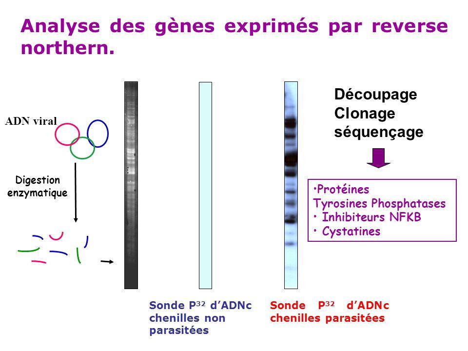 Analyse des gènes exprimés par reverse northern. ADN viral Digestion enzymatique Sonde P 32 d'ADNc chenilles parasitées Sonde P 32 d'ADNc chenilles no