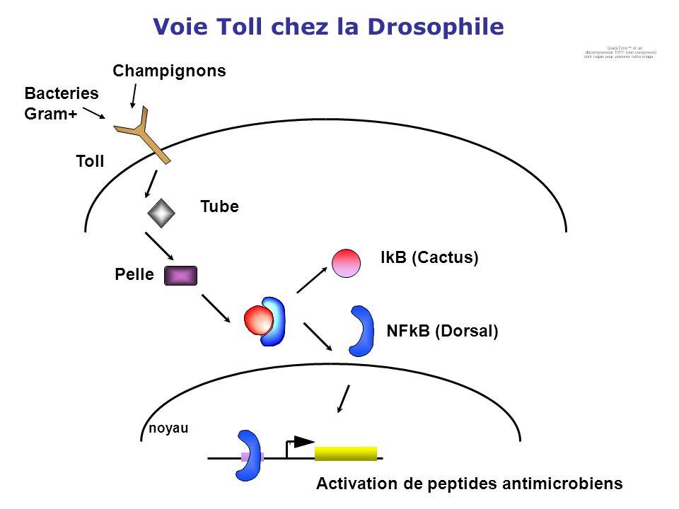 Voie Toll chez la Drosophile Toll Tube Pelle NFkB (Dorsal) IkB (Cactus) Activation de peptides antimicrobiens Bacteries Gram+ Champignons noyau