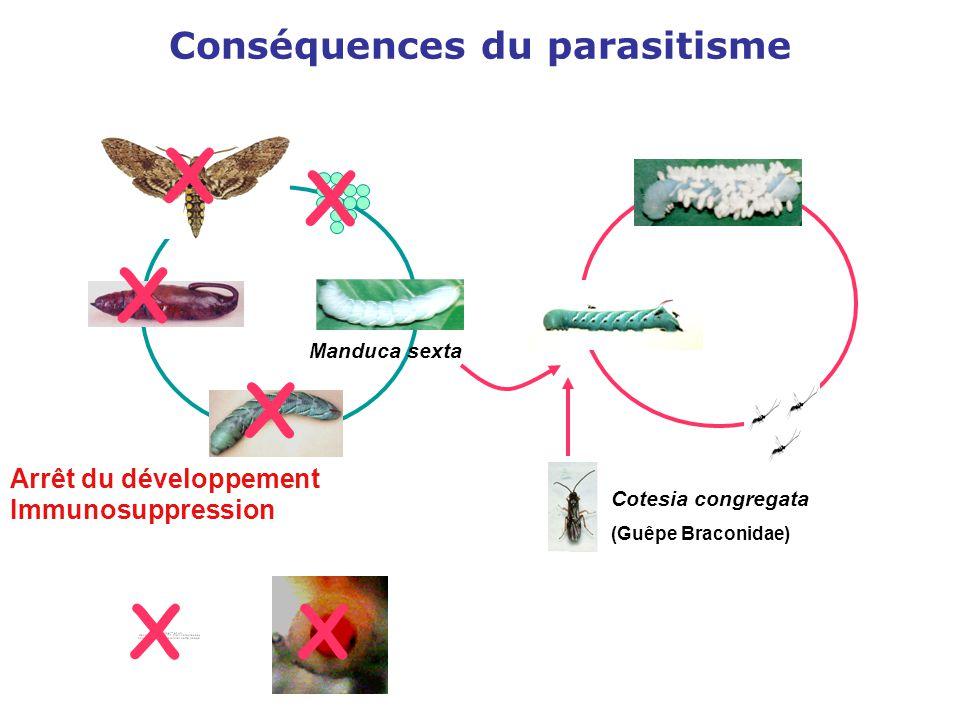 Cotesia congregata (Guêpe Braconidae) Conséquences du parasitisme X X X X Arrêt du développement Immunosuppression XX Manduca sexta