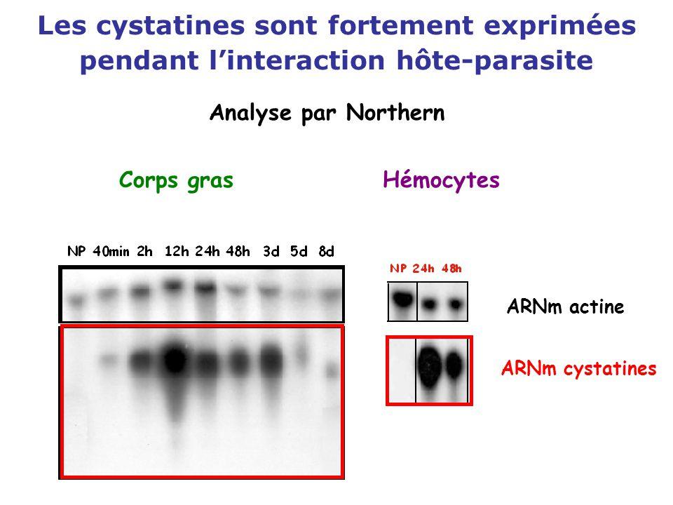Les cystatines sont fortement exprimées pendant l'interaction hôte-parasite ARNm cystatines ARNm actine Analyse par Northern Corps grasHémocytes