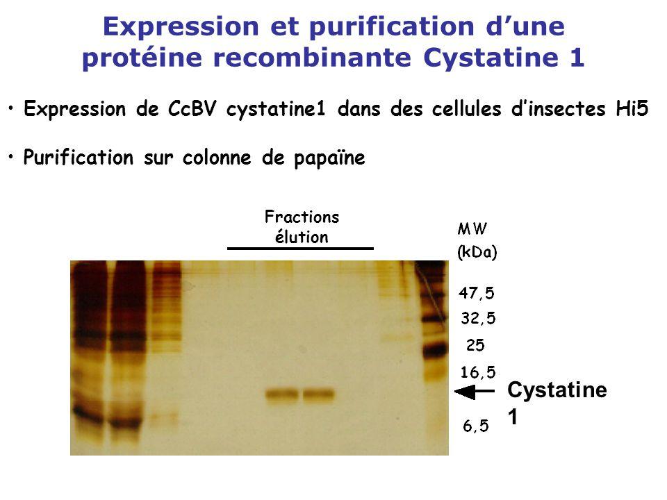 Expression et purification d'une protéine recombinante Cystatine 1 Fractions élution Expression de CcBV cystatine1 dans des cellules d'insectes Hi5 Pu