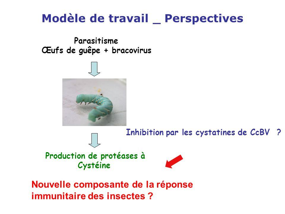 Modèle de travail _ Perspectives Parasitisme Œufs de guêpe + bracovirus Production de protéases à Cystéine Nouvelle composante de la réponse immunitai