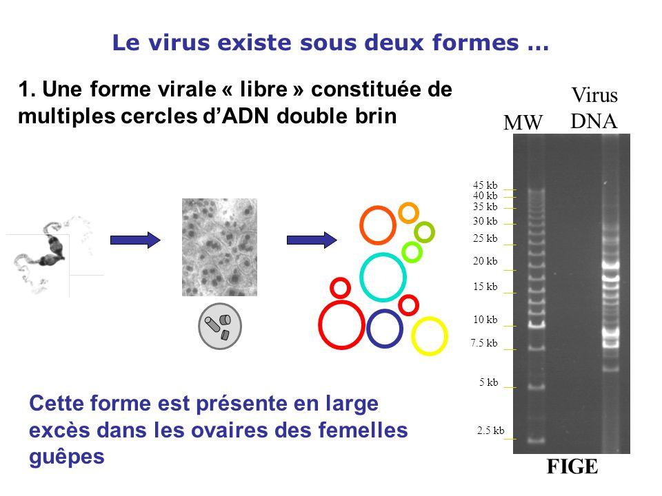 Le virus existe sous deux formes … 1. Une forme virale « libre » constituée de multiples cercles d'ADN double brin Virus DNA MW FIGE 2.5 kb 7.5 kb 5 k