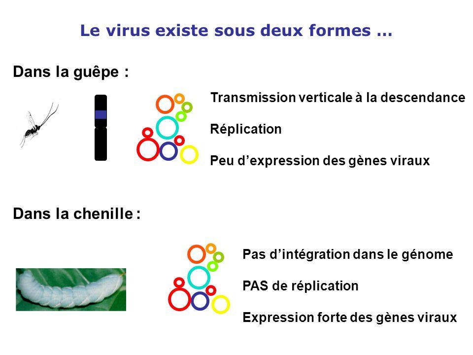 Le virus existe sous deux formes … Transmission verticale à la descendance Réplication Peu d'expression des gènes viraux Pas d'intégration dans le gén