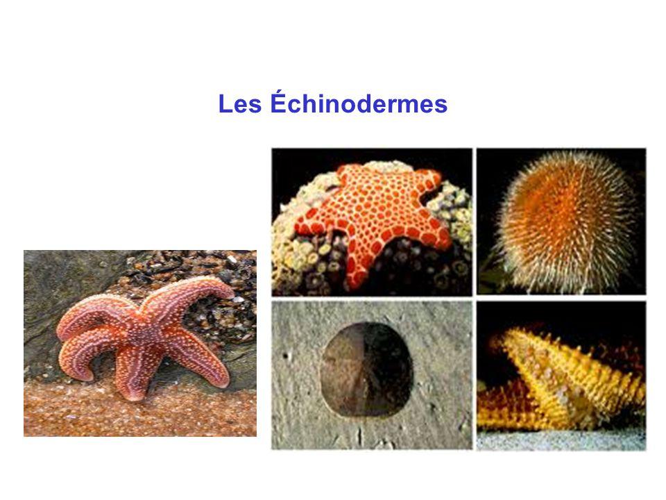 Les échinodermes : situation phylogénétique