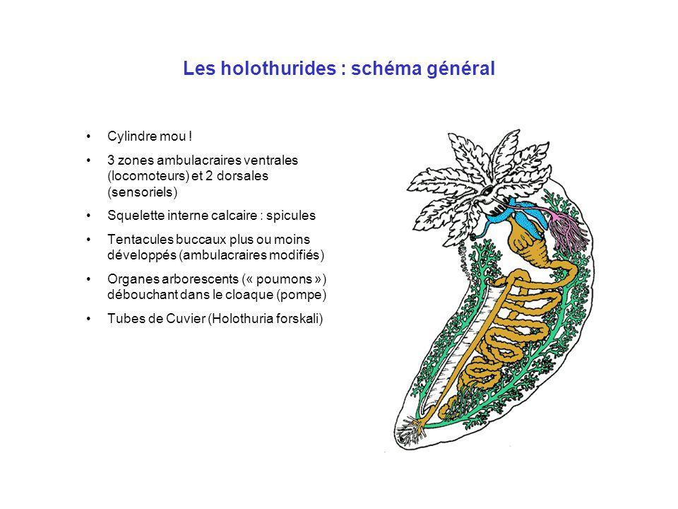 Les holothurides : schéma général Cylindre mou ! 3 zones ambulacraires ventrales (locomoteurs) et 2 dorsales (sensoriels) Squelette interne calcaire :