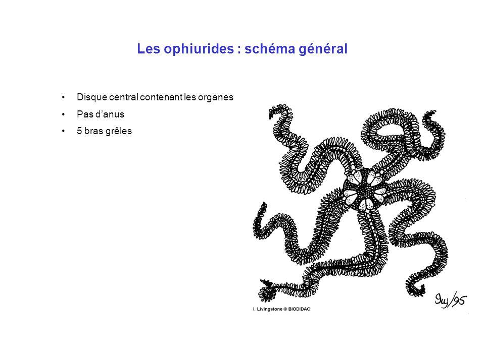 Les ophiurides : schéma général Disque central contenant les organes Pas d'anus 5 bras grêles