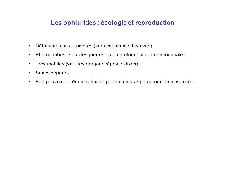 Les ophiurides : écologie et reproduction Détritivores ou carnivores (vers, crustacés, bivalves) Photophobes : sous les pierres ou en profondeur (gorg