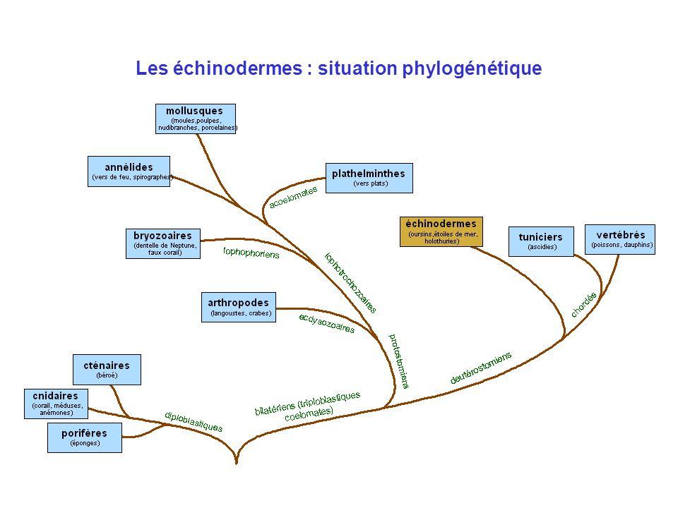 Les échinodermes Caractéristiques générales Système aquifère Classification –Morphologie –Écologie –Reproduction Photos