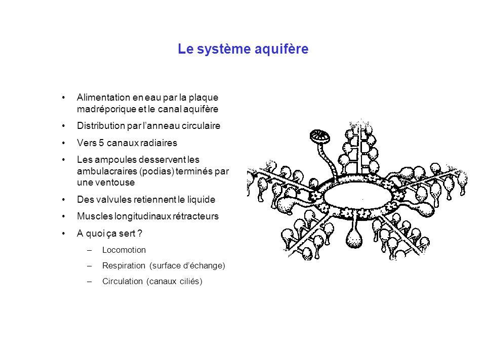 Le système aquifère Alimentation en eau par la plaque madréporique et le canal aquifère Distribution par l'anneau circulaire Vers 5 canaux radiaires L