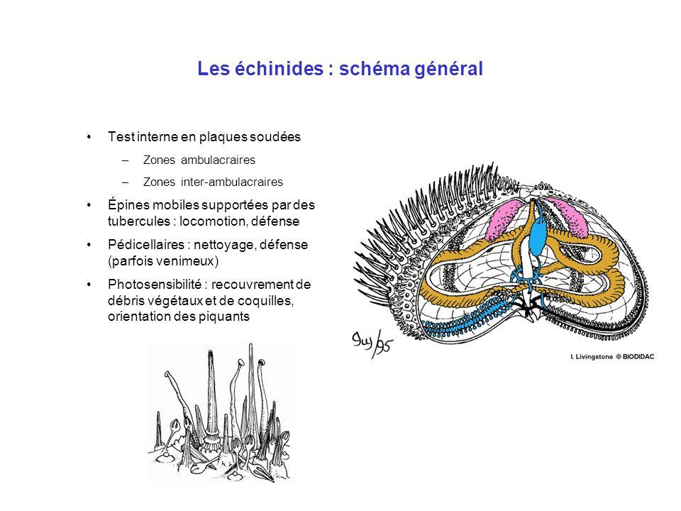 Les échinides : schéma général Test interne en plaques soudées –Zones ambulacraires –Zones inter-ambulacraires Épines mobiles supportées par des tuber