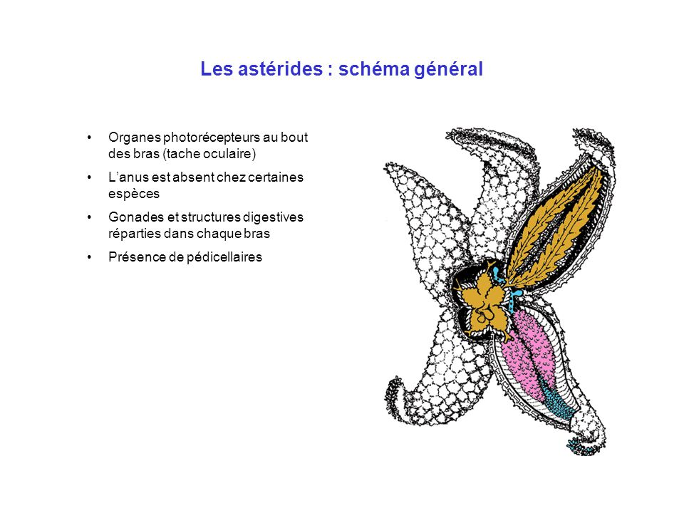 Les astérides : schéma général Organes photorécepteurs au bout des bras (tache oculaire) L'anus est absent chez certaines espèces Gonades et structure