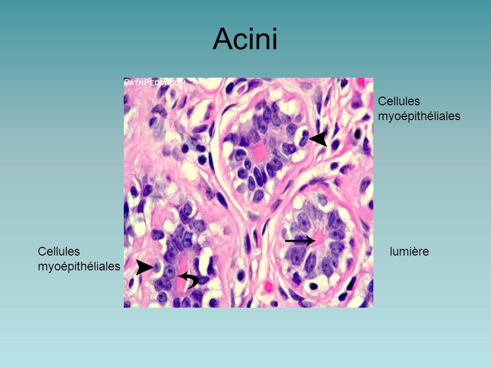 Acini Cellules myoépithéliales lumièreCellules myoépithéliales