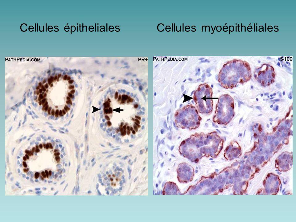 Cellules épitheliales Cellules myoépithéliales