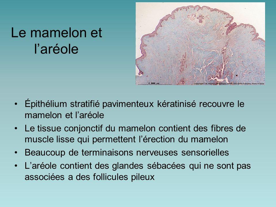 Le mamelon et l'aréole Épithélium stratifié pavimenteux kératinisé recouvre le mamelon et l'aréole Le tissue conjonctif du mamelon contient des fibres de muscle lisse qui permettent l'érection du mamelon Beaucoup de terminaisons nerveuses sensorielles L'aréole contient des glandes sébacées qui ne sont pas associées a des follicules pileux