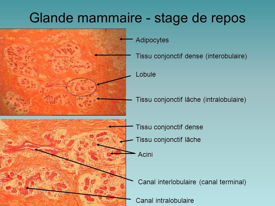 Lobule Glande mammaire - stage de repos Tissu conjonctif dense Tissu conjonctif lâche Canal intralobulaire Canal interlobulaire (canal terminal) Adipocytes Tissu conjonctif dense (interobulaire) Tissu conjonctif lâche (intralobulaire) Acini