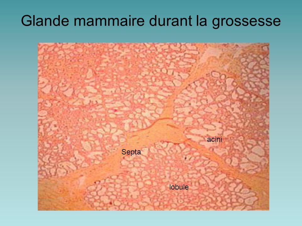 Glande mammaire durant la grossesse Septa acini lobule