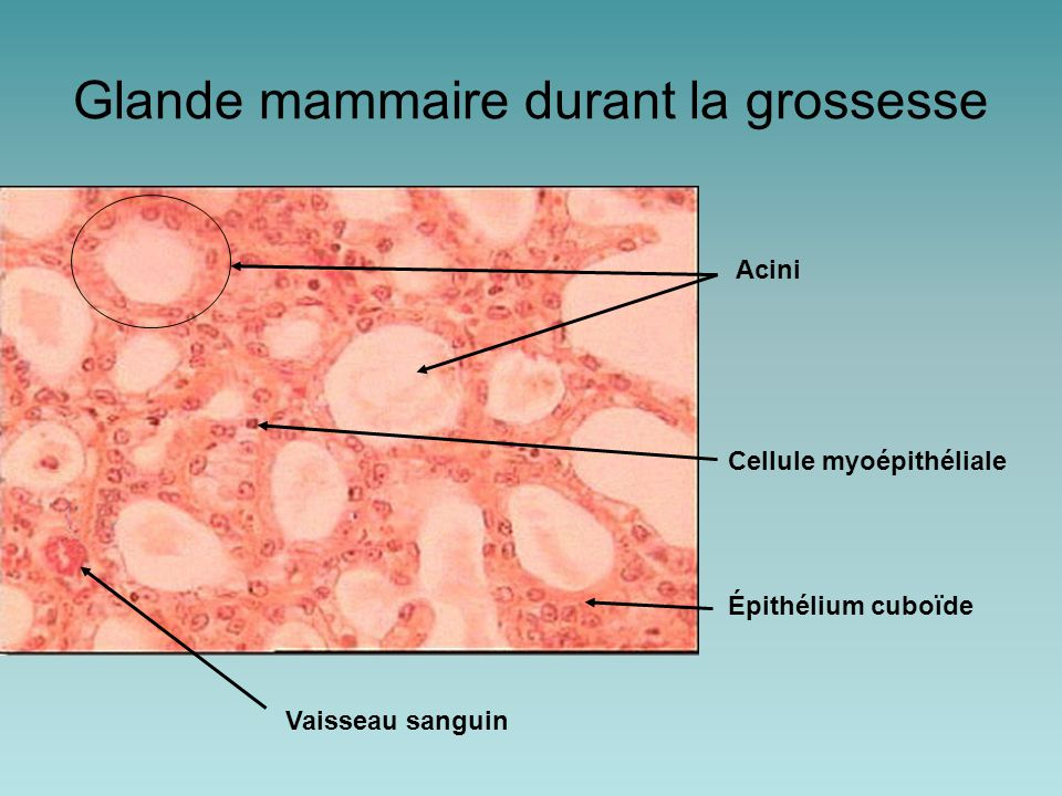 Acini Cellule myoépithéliale Vaisseau sanguin Glande mammaire durant la grossesse Épithélium cuboïde