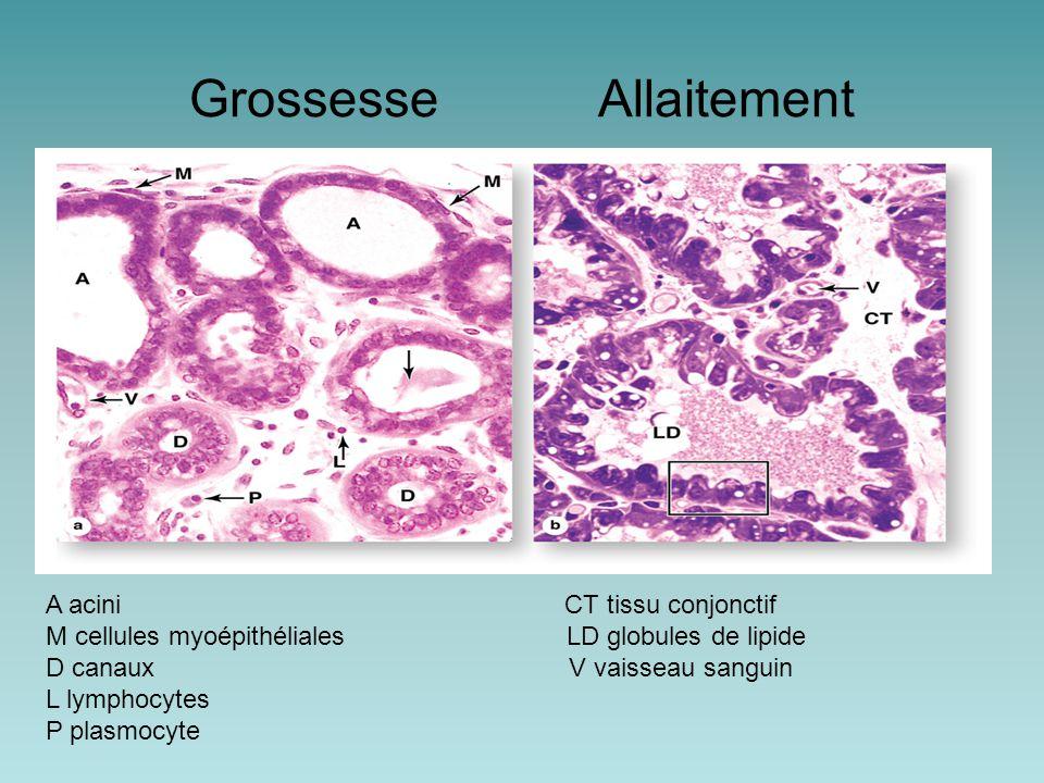 Grossesse Allaitement A acini CT tissu conjonctif M cellules myoépithéliales LD globules de lipide D canaux V vaisseau sanguin L lymphocytes P plasmocyte