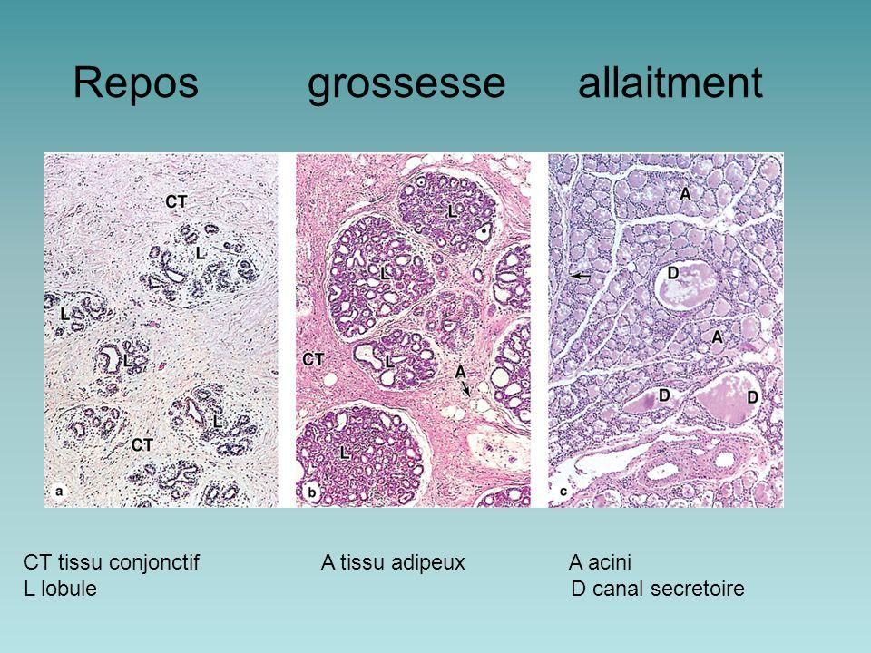 Repos grossesse allaitment CT tissu conjonctif A tissu adipeux A acini L lobule D canal secretoire