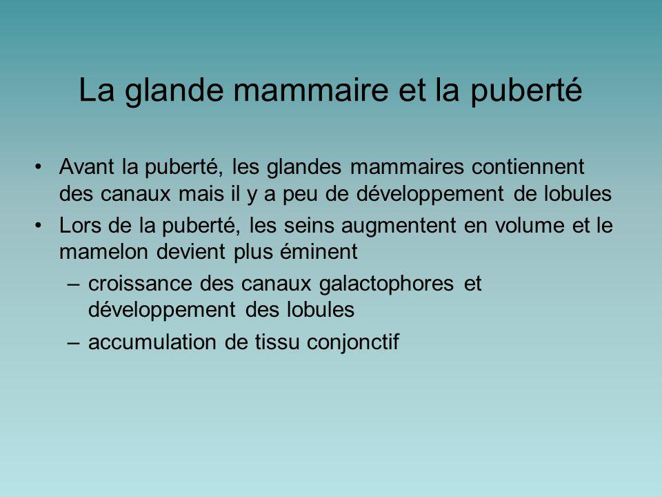 La glande mammaire et la puberté Avant la puberté, les glandes mammaires contiennent des canaux mais il y a peu de développement de lobules Lors de la puberté, les seins augmentent en volume et le mamelon devient plus éminent –croissance des canaux galactophores et développement des lobules –accumulation de tissu conjonctif