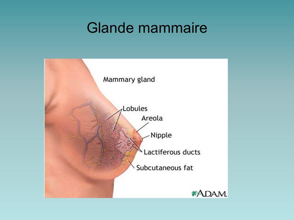 Structure de la glande mammaire adulte Chaque sein contient des (de 15 à 25) unités glandulaires indépendantes = lobes mammaires Les lobes sont séparés les un des autres par du tissu conjonctif collagéneux et du tissu adipeux Lobes sont dispersés autour du mamelon a différentes profondeurs –Un canal galactophore draine chaque lobe par un orifice à la surface du mamelon –Un sinus lactifère est une dilatation du canal galactophore juste avant de rejoindre la surface À l'intérieur de chaque lobe, le canal principal se ramifie en plus petits canaux, donnant lieu éventuellement a des canaux terminaux qui aboutissent chaqu'un à un lobule –Un lobule contient multiples acini