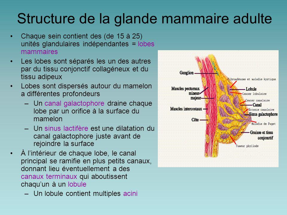 La glande mammaire et l'allaitement Le lait est produit pas les cellules épithéliales des acini et s'accumule dans la lumière des acini et dans les canaux Ces cellules sécrétoires contiennent du lactose, des lipides et des protéines (par ex.: caséine, IgA) La prolactine stimule la production de lait L'ocytocine cause l éjection du lait en provoquant la contraction des cellules myoépithéliales La succion du mamelon provoque la sécrétion de prolactine par l'adénohypophyse et entraine la libération de l ocytocine par la neurohypophyse