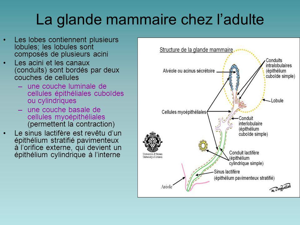 Cellule myoépithéliale Lumière d'un acini Cellules épithéliales Tissu conjonctif Vaisseau sanguin Glande mammaire durant la grossesse
