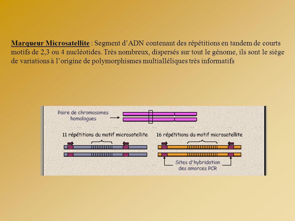 Marqueur Microsatellite : Segment d'ADN contenant des répétitions en tandem de courts motifs de 2,3 ou 4 nucléotides. Très nombreux, dispersés sur tou