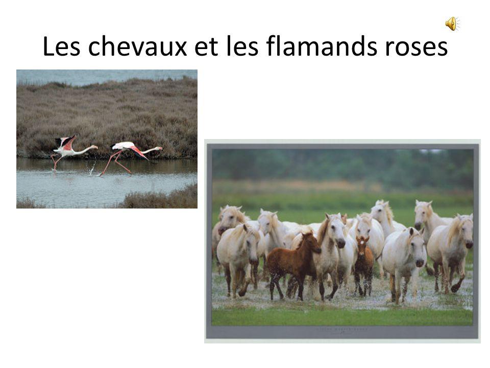 Les chevaux et les flamands roses