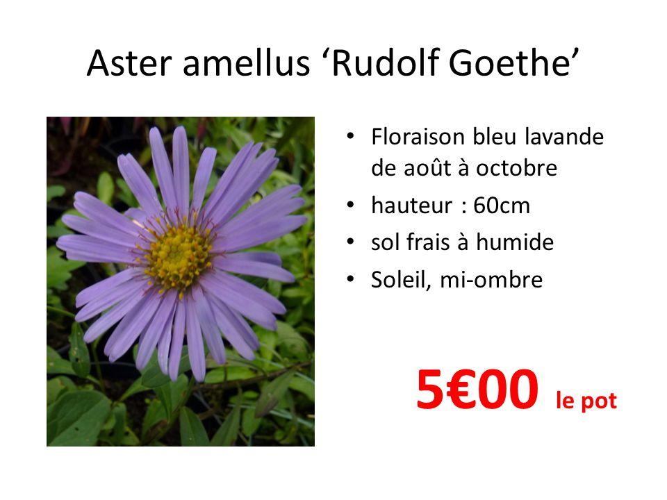 Aster amellus 'Rudolf Goethe' Floraison bleu lavande de août à octobre hauteur : 60cm sol frais à humide Soleil, mi-ombre 5€00 le pot