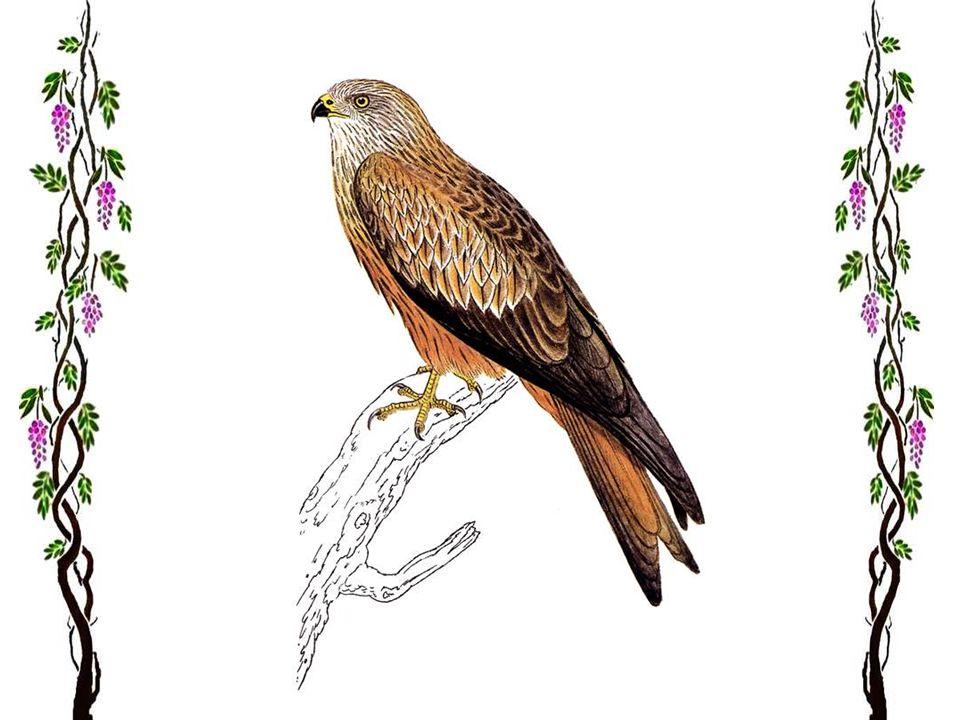 Épervier d'Europe C'est le plus petit des oiseaux rapaces (28 à 38 cm, envergure 60 cm à 80 cm). Il est répandu dans toute l'Europe. Il vit surtout da