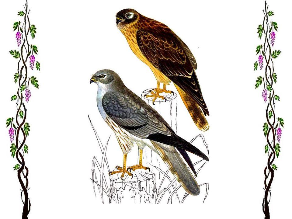 Le milan royal Le milan rouge ou milan royal est un bel oiseau de proie, répandu dans les régions tièdes d'Europe. Dans les pays du sud, ils sont parf