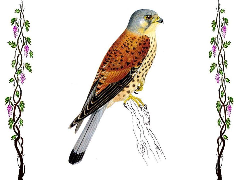 Le faucon pèlerin Tel une flèche, le faucon pèlerin s'élance pour saisir sa proie. Ce beau rapace, répandu dans toute l'Europe, se nourrit surtout de