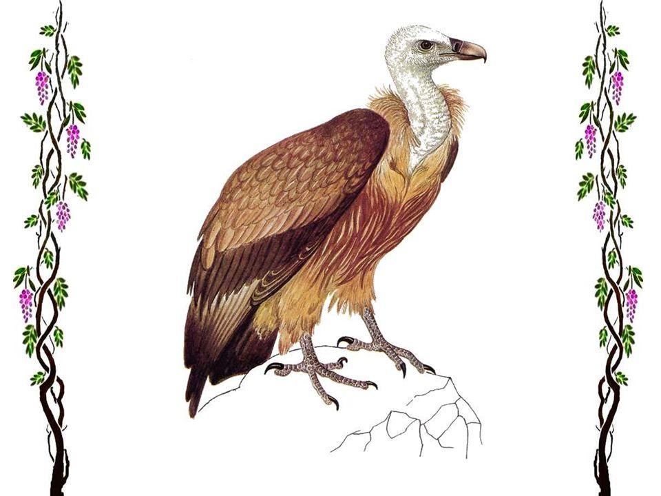 L'aigle royal Ce seigneur des cimes mesure 82 centimètres de hauteur, et 2 mètres d'envergure ! La femelle est plus grande que le mâle, mais ils ont m