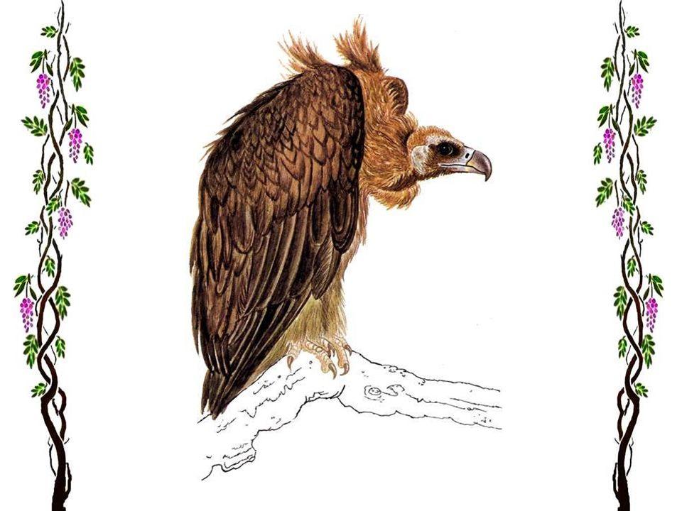 Le vautour fauve Les endroits découverts, secs et empierrés des versants de montagne, et les falaises abruptes sont habités par ce puissant rapace. Il