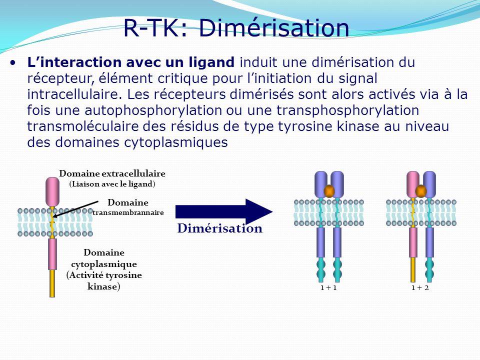 R-TK: Dimérisation L'interaction avec un ligand induit une dimérisation du récepteur, élément critique pour l'initiation du signal intracellulaire. Le