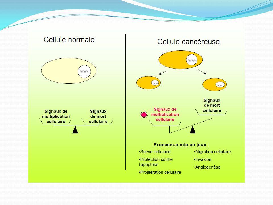 HER-1 (EGFR) Homodimères HER-2 HER-3 HER-4 Hétérodimères KKK K Shc Grb2 Sos Ras-GTP Ras-GDP Raf-1 Erk-2Erk-1 Facteurs de transcription Prolifération PI3KGab-1 Akt Survie PLCγ IP 3 DAG PKC 3/ Voie Phospholipase Cγ