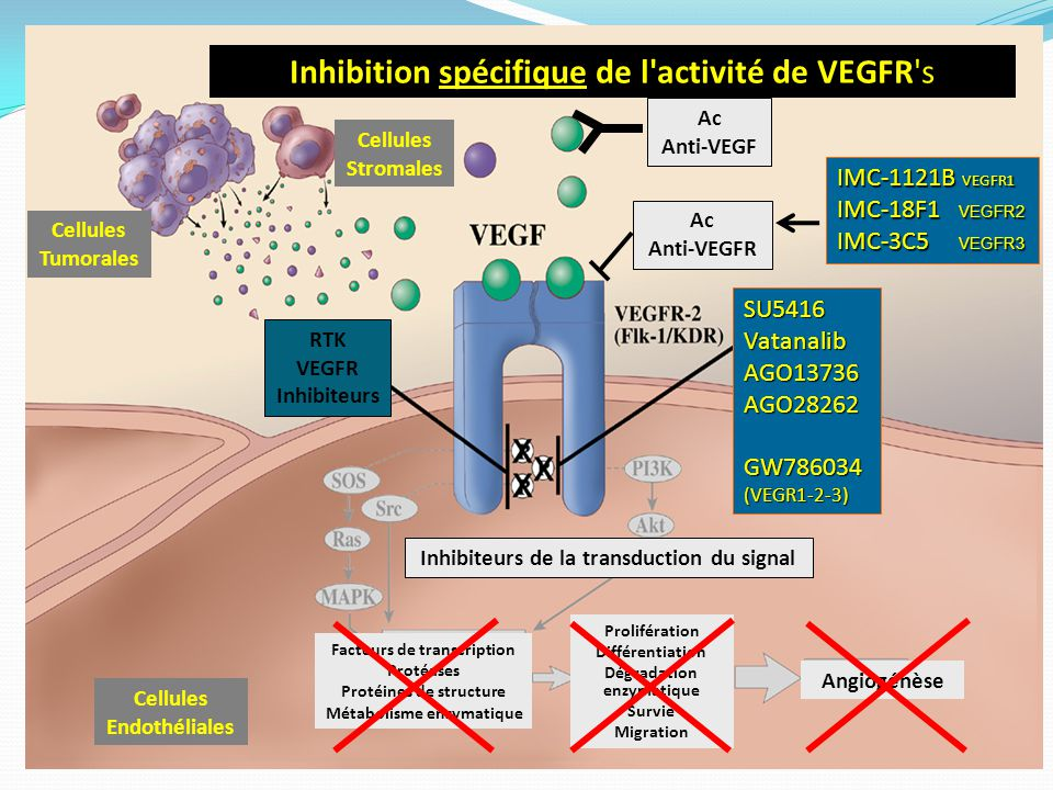 Inhibition spécifique de l'activité de VEGFR's Cellules Tumorales Cellules Stromales Cellules Endothéliales Facteurs de transcription Protéases Protéi