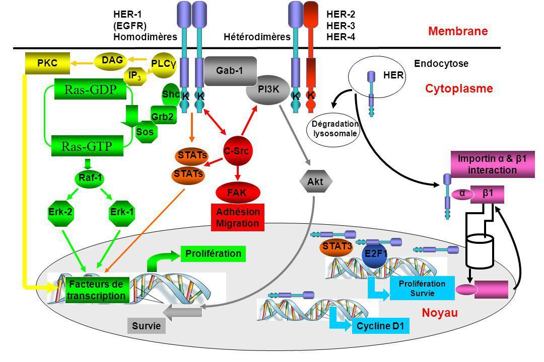 Domaine extracellulaire (liaison avec le ligand) Domaine transmembranaire Domaine cytoplasmique (Activité tyrosine kinase) Récepteur Tyrosine Kinase R-TK